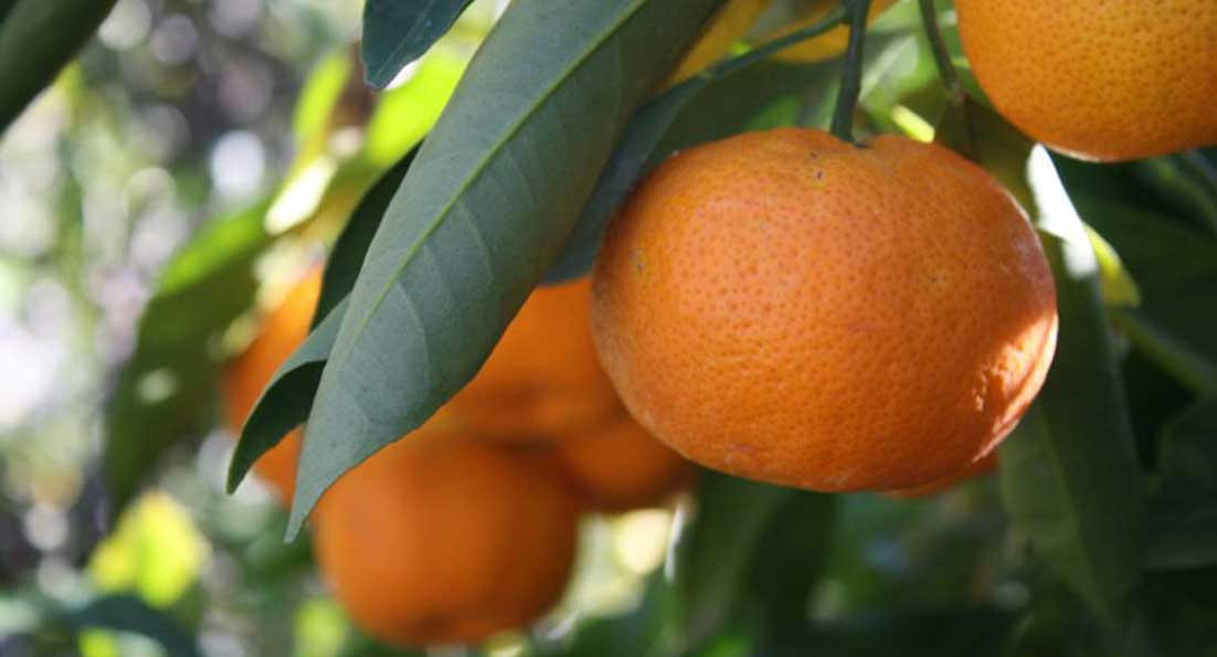 Χιώτικο μανταρίνι: ένας μικρός διατροφικός θησαυρός